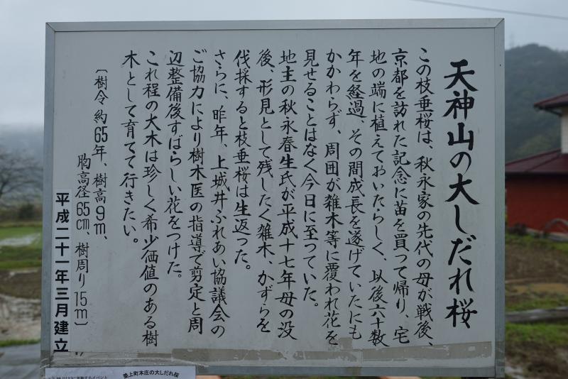 天神山のしだれ桜 (20)