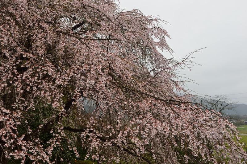 天神山のしだれ桜 (19)