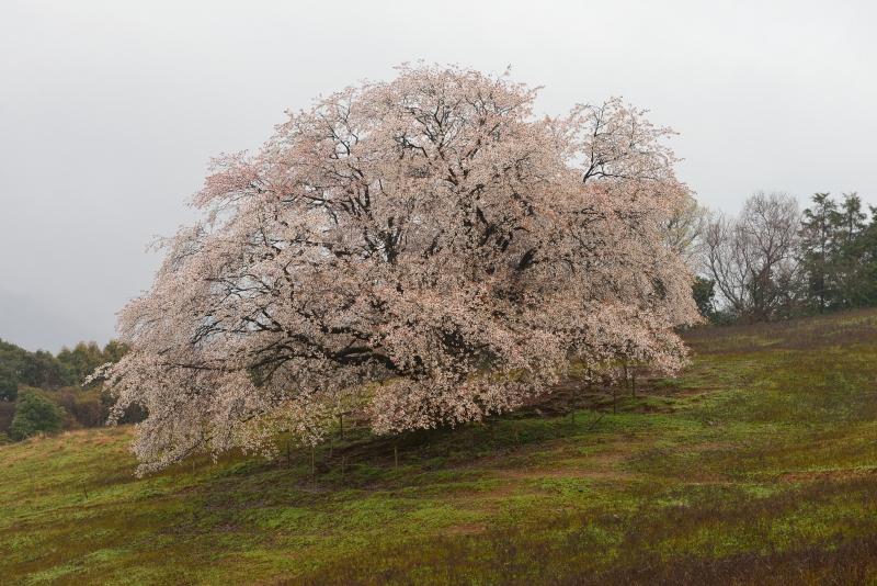 才尾の一本桜 (6)
