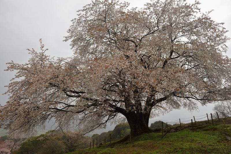 才尾の一本桜 (4)
