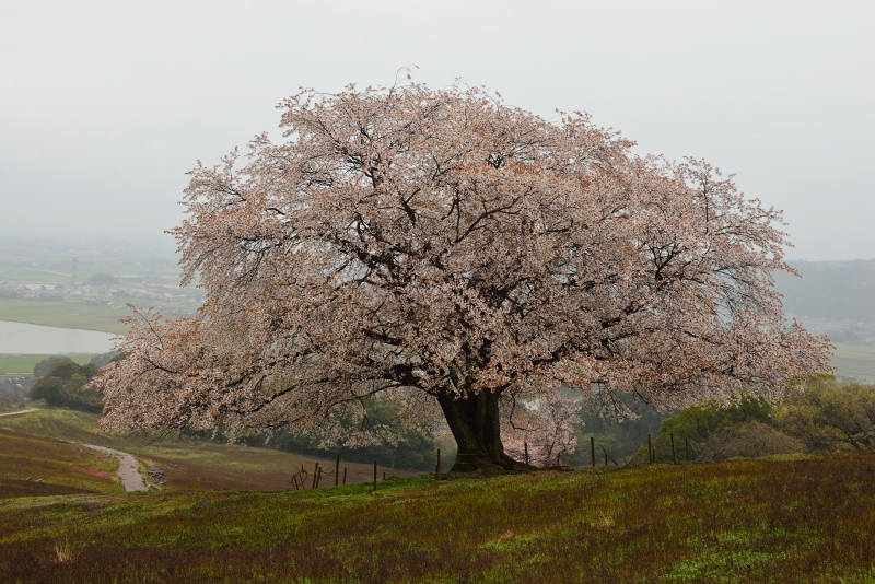 才尾の一本桜 (2)
