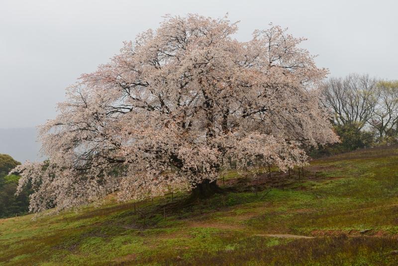 才尾の一本桜 (1)