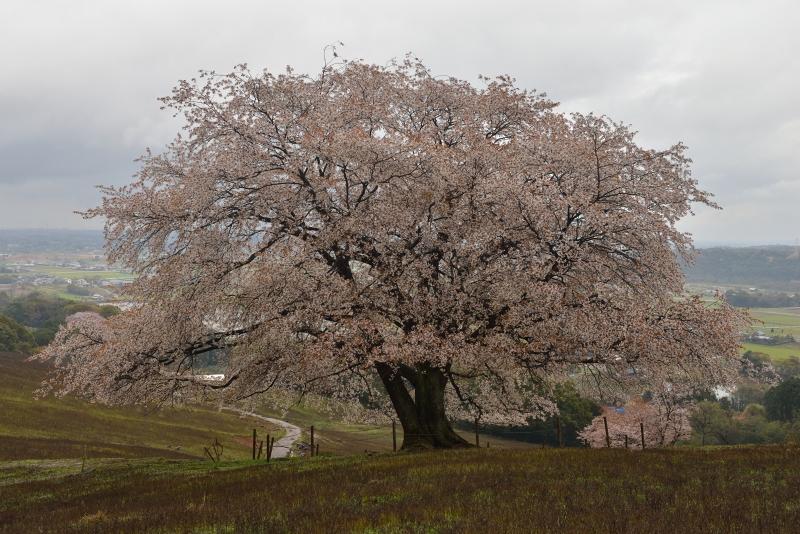 才尾の一本桜 (9)