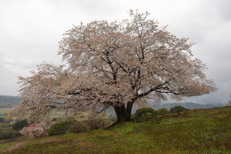 才尾の一本桜 (8)