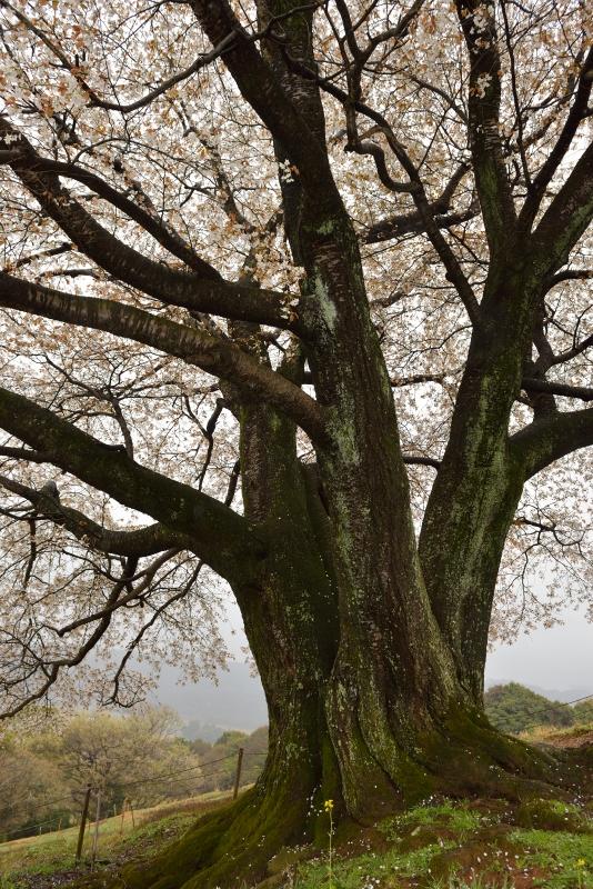 才尾の一本桜 (7)
