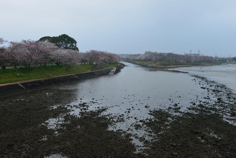 城井川の桜並木 (6)