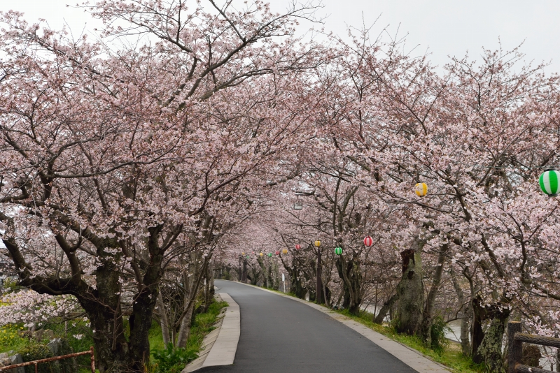 城井川の桜並木 (5)