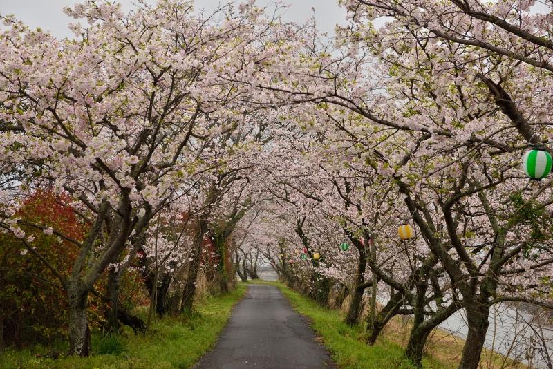 城井川の桜並木 (3)
