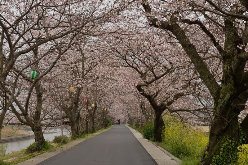 城井川の桜並木 (4)