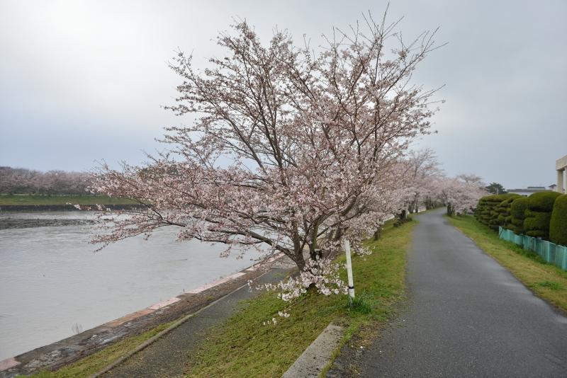 城井川の桜並木 (2)