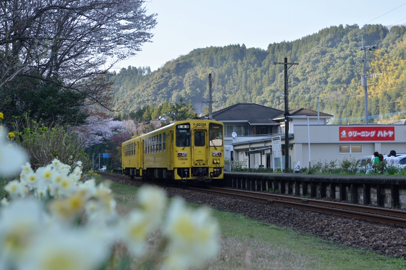 JRと桜 (6)