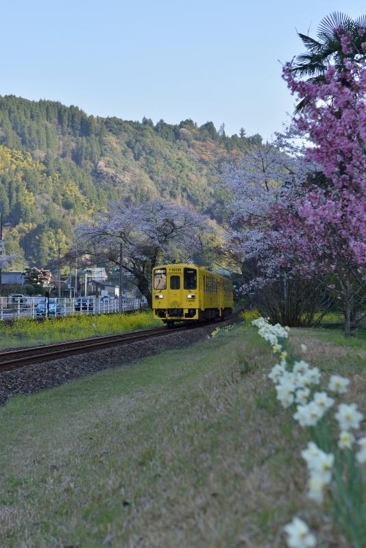 JRと桜 (4)