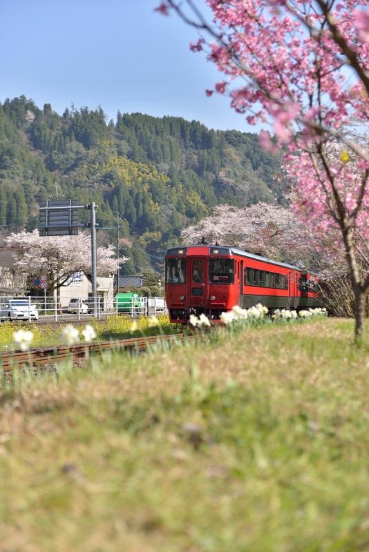 JRと桜 (1)