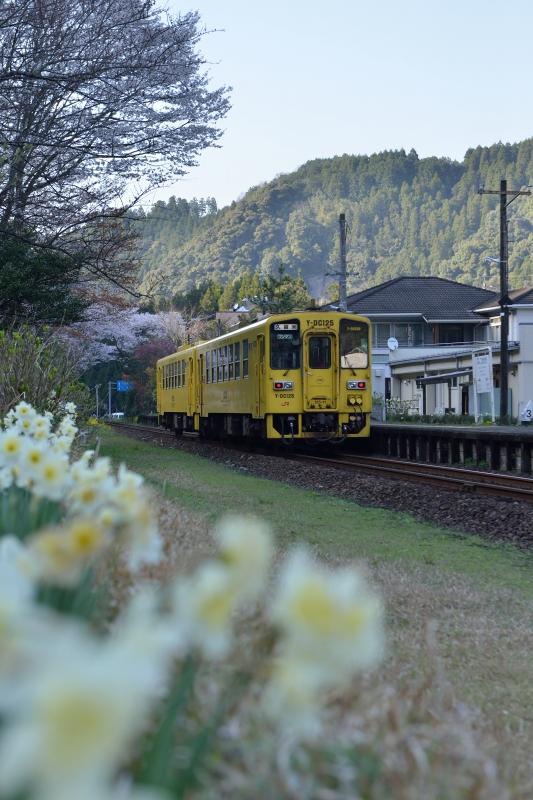 JRと桜 (7)