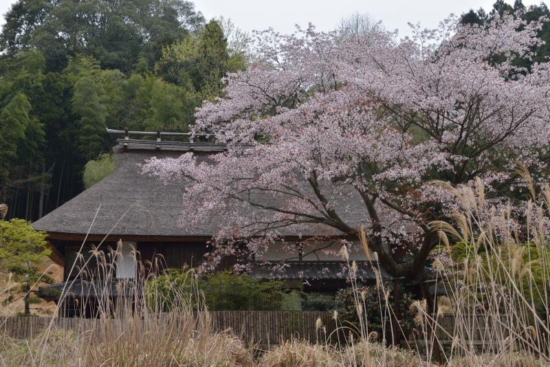 小石原桜 (2)