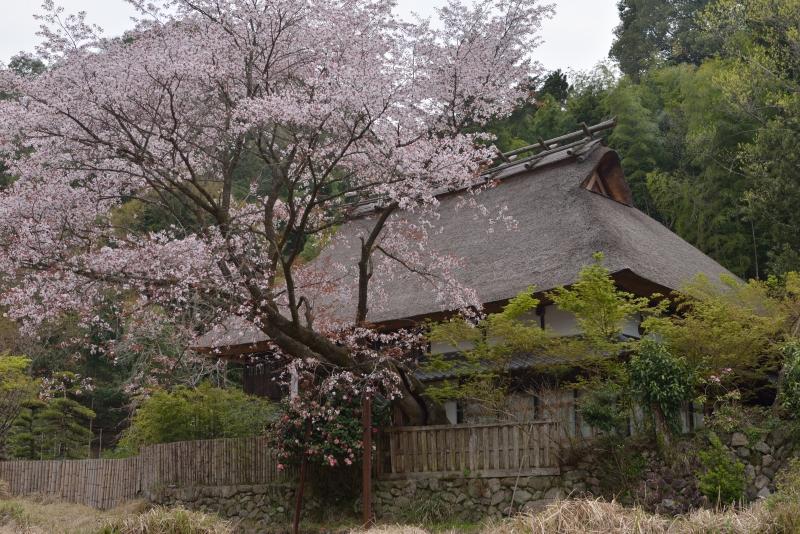 小石原桜 (1)