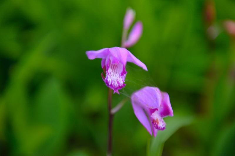 紫蘭 (2)
