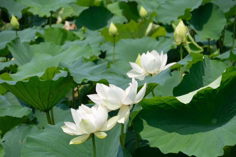 蓮の花 (2)