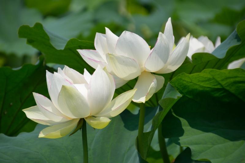蓮の花 (1)