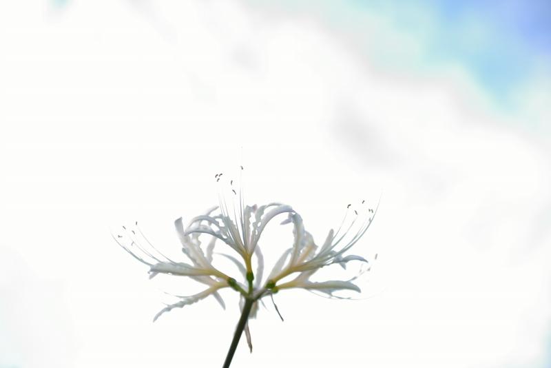彼岸花 (9)