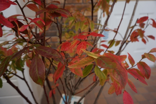 オリーブ 紅葉