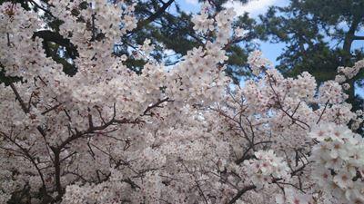140402夙川の桜001