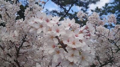140402夙川の桜002