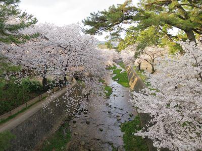 140402夙川の桜003