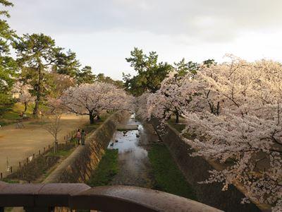 140402夙川の桜005
