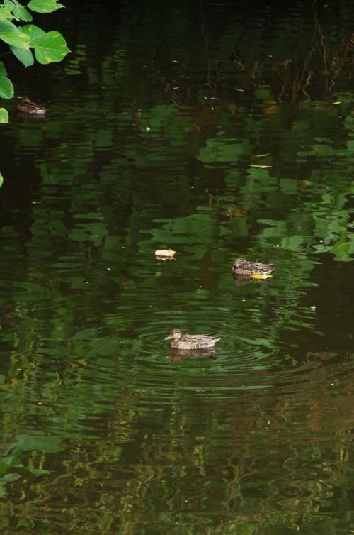 法隆寺 サイクルロード池の鳥