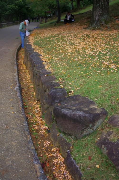 奈良公園 ギンナン