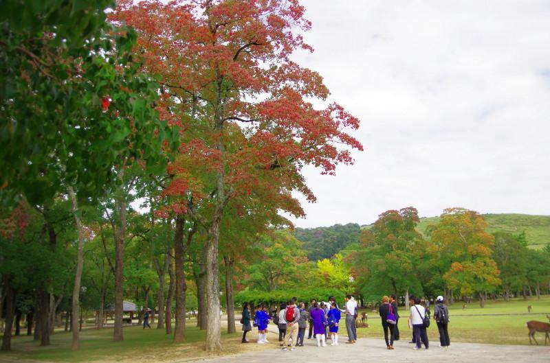 奈良公園 ナンキンハゼ1