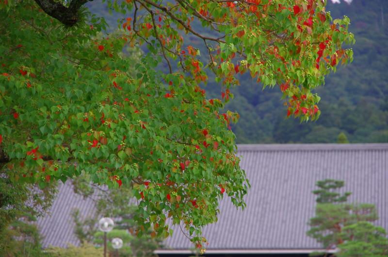 奈良公園 ナンキンハゼ3