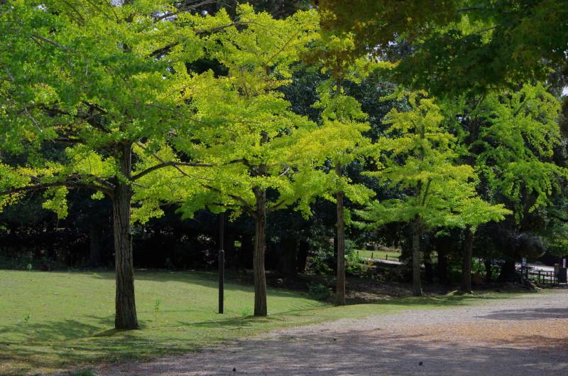 奈良公園 銀杏