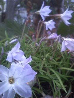 4-1花ニラ