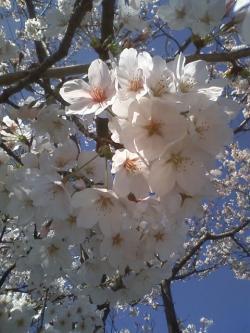 4-3桜満開