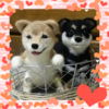 柴犬の子犬・2カラー
