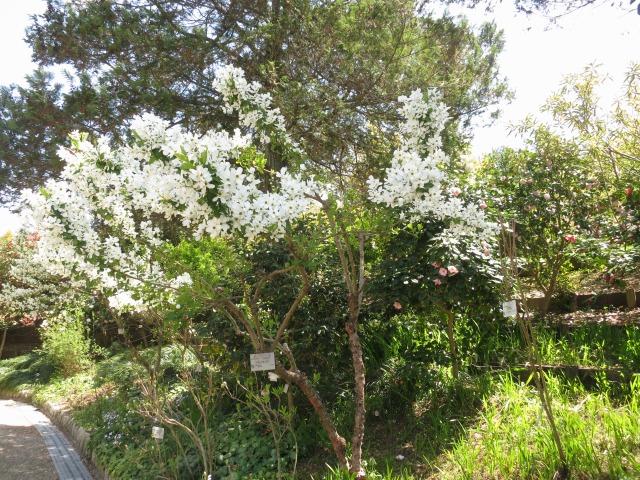 リキュウバイの樹様
