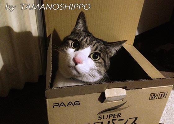 段ボール箱に入る猫(風呂バンス)