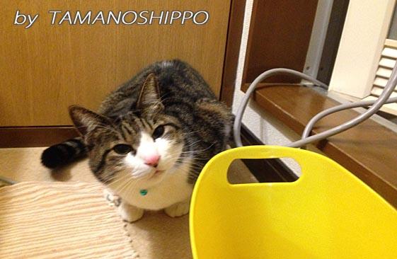 お風呂前で待つ猫(お湯飲みたーい)