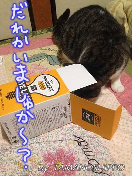 箱の中を確かめる猫(覗いてる?)