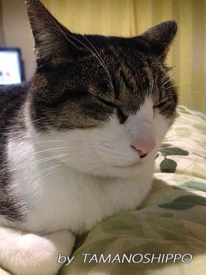 ウトウト寝てる猫(ちょっと苦しそう)