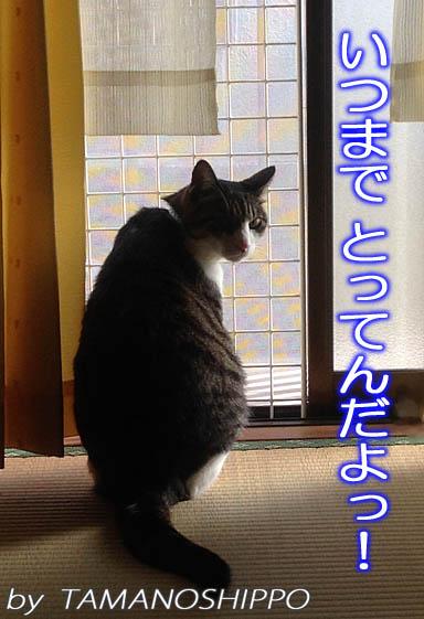 視線に気づいてにらみつける猫(窓辺)