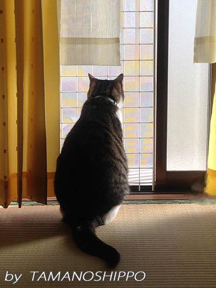 お外の小鳥さんを見ている猫(窓辺)
