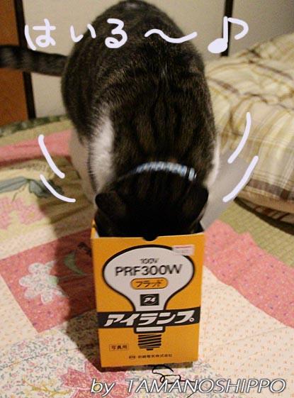 小さな箱に入ろうとする猫
