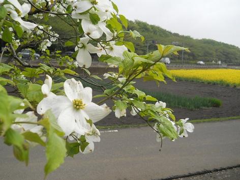 菜の花とハナミズキ