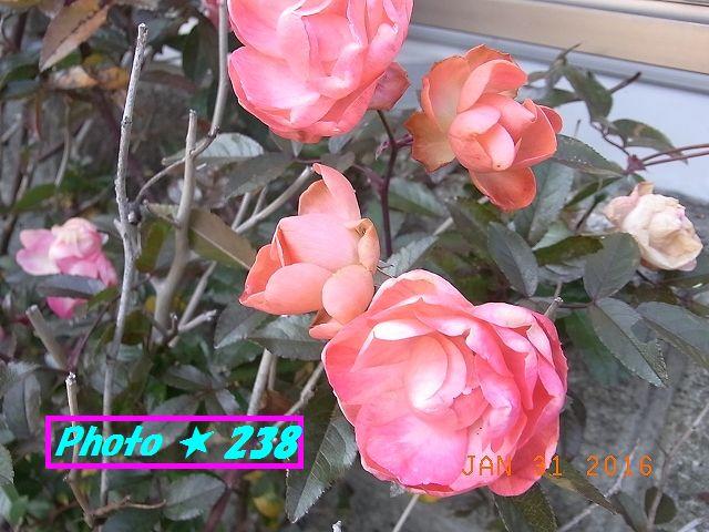 普段の薔薇