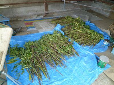 20140906ゴマ収穫