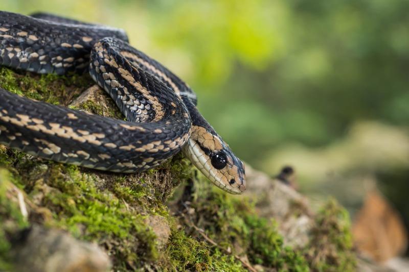 カラスヘビ Elaphe quadrivirgata