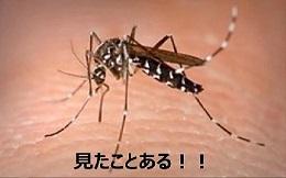ヒトスジシマカってどんな蚊